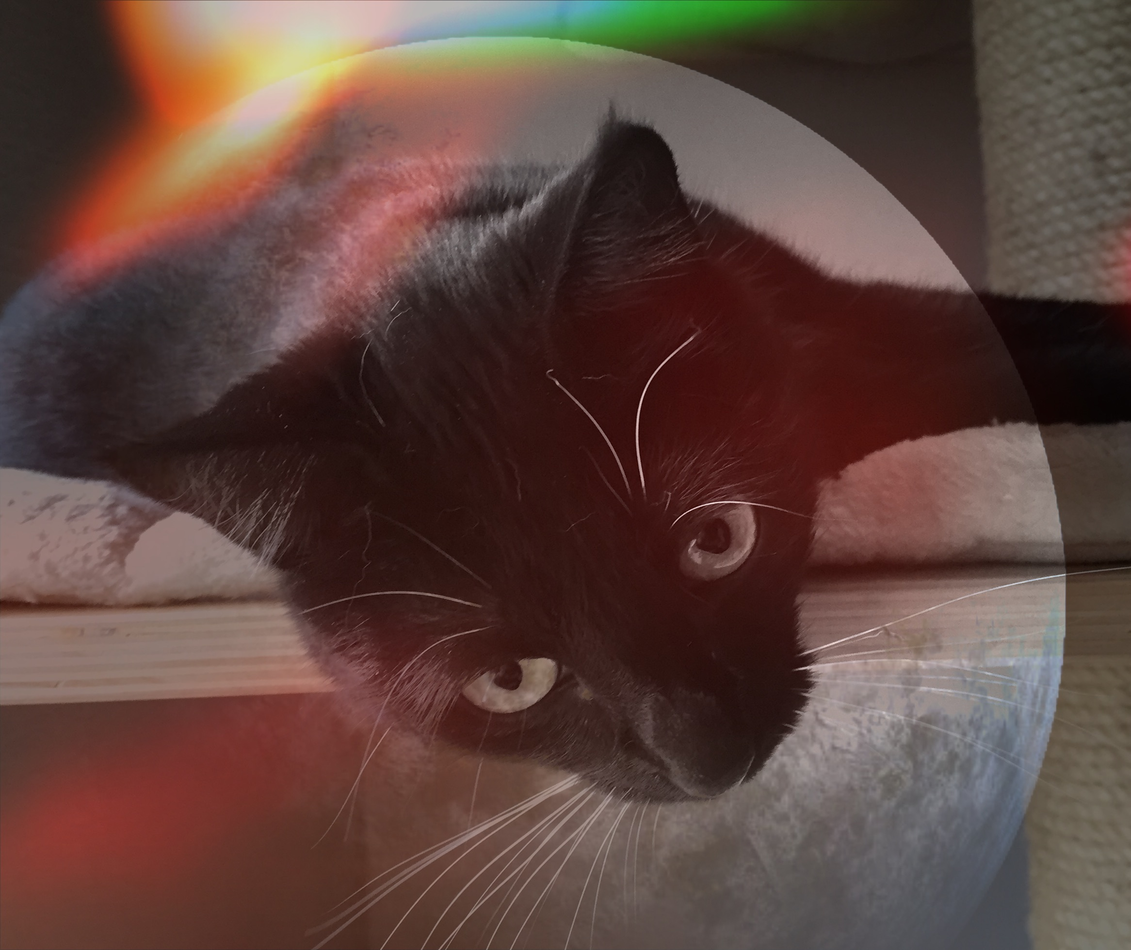 Kiopf einer schwarzen Katze, liegt auf der Sitzfläche eines Kratzbaumes