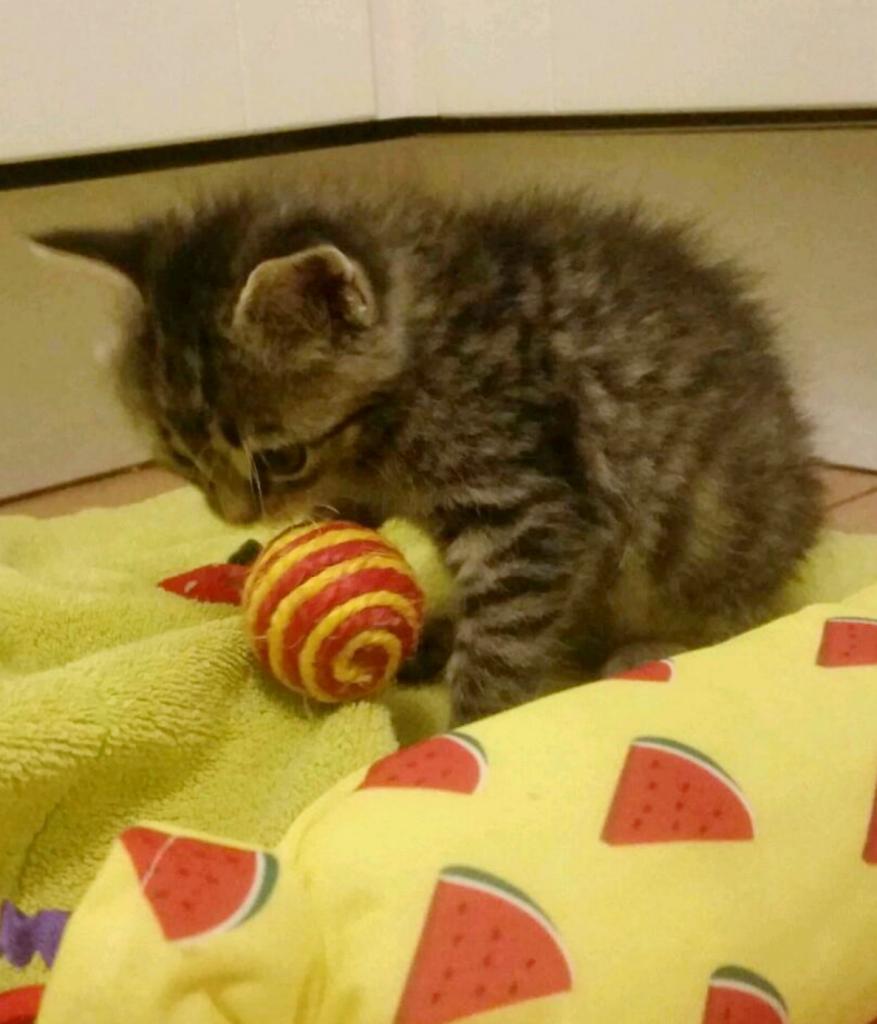 kleine getigerte Katze sitzt auf einer gelben Decke, mit einem Ball