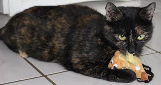 Schildpatt-Katze liegt auf dem Fußboden, mit Spielzeug