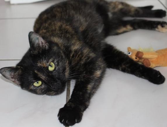 Schildpatt- Katze liegt auf dem Fußboden auf der Seite