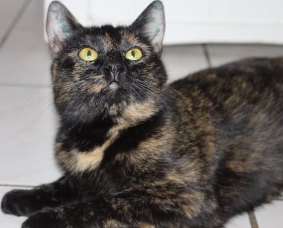 Schildpatt- Katze liegt und schaut neugierig nach oben