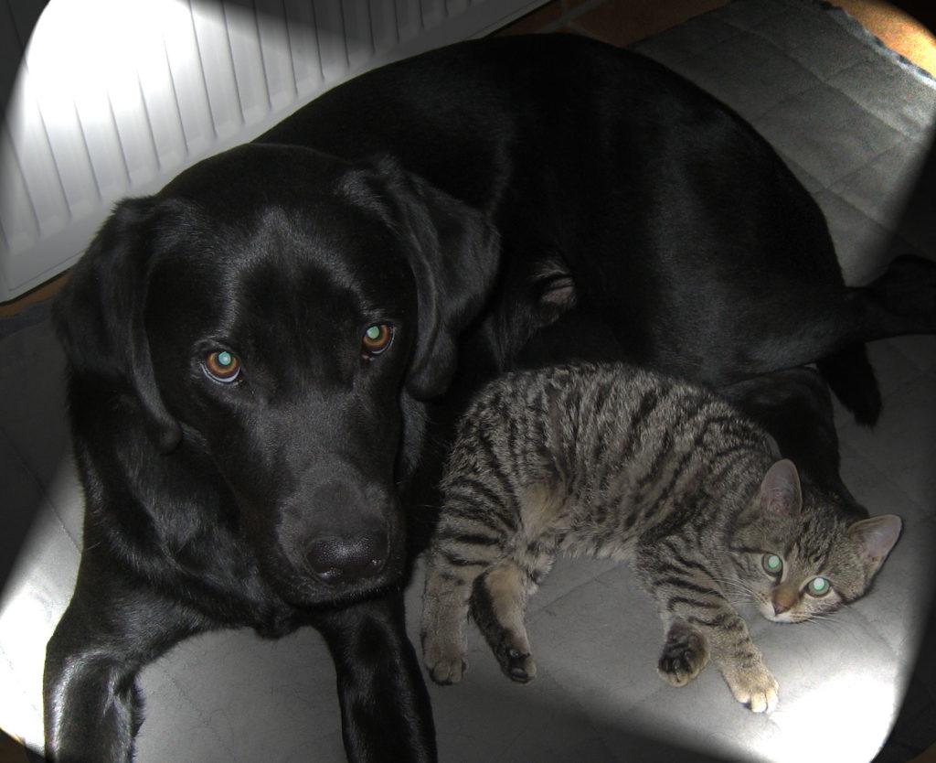 kleiner getigerter Kater mit einem schwarzen Hund auf einem Kissen