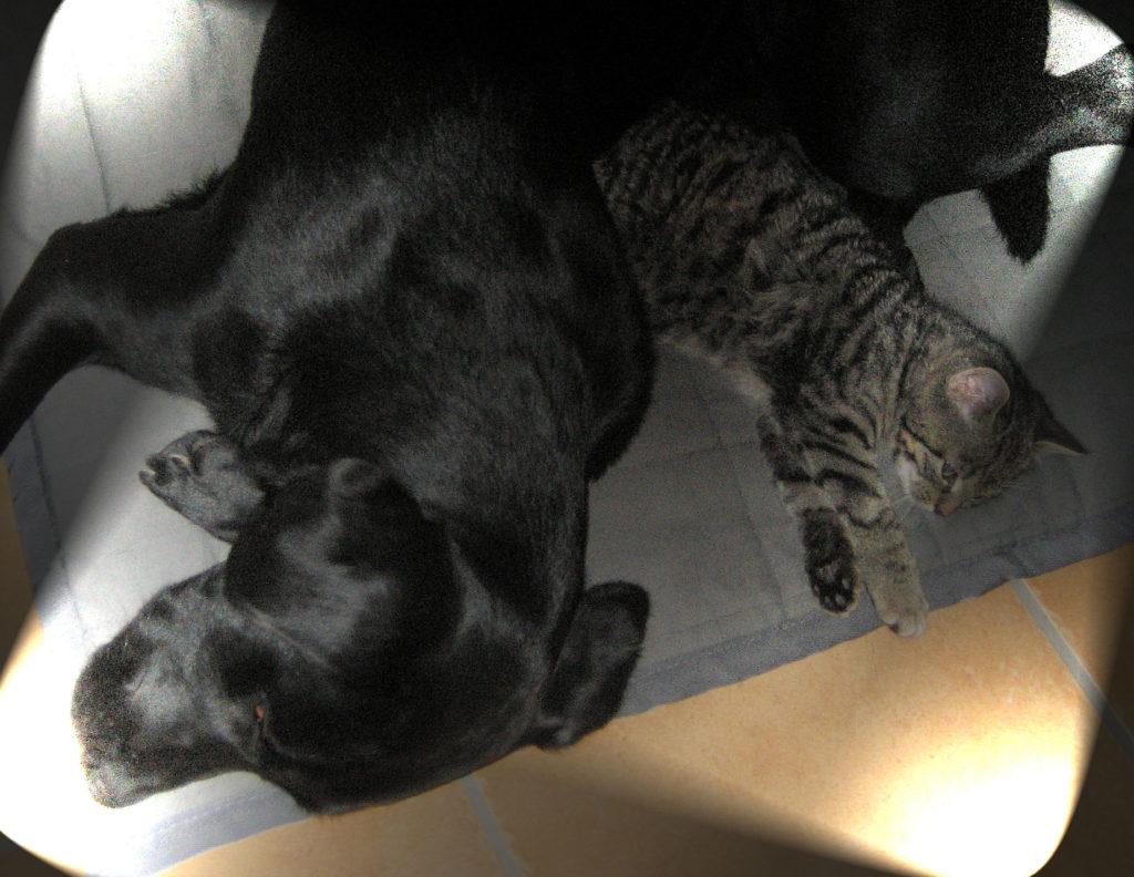 kleiner getigerter Kater mit einem schwarzen Hund auf einem Kissen, beide schlafen