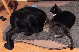 gkleiner getiegerter Kater, schwarze Katze und schwarzer Hund auf einem Humdebett