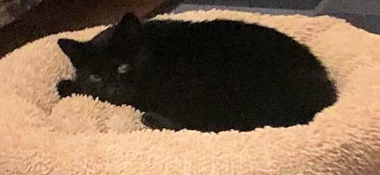 schwarze Katze liegt in einem beigen Katzenbett und schaut in die Kamera