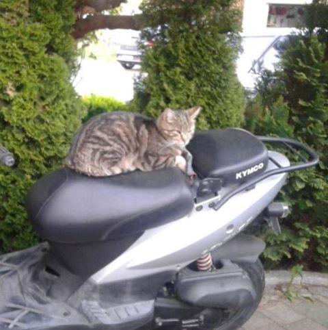 getigerter Kater liegt auf der Sitzbank eines Motorrollers