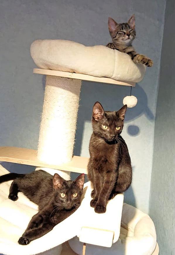 eine getigerte und zwei schwarze Katzen auf einem Kratzbaum