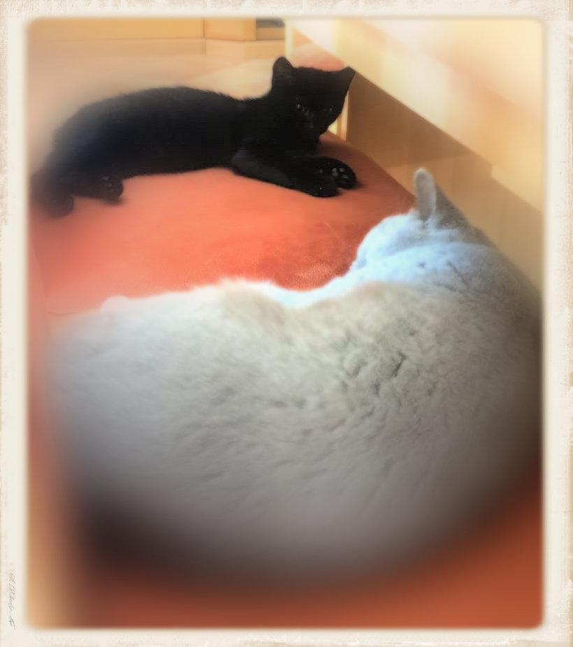 ein kleiner schwarzer und ein grauer Kater liegen auf einem roten Kissen