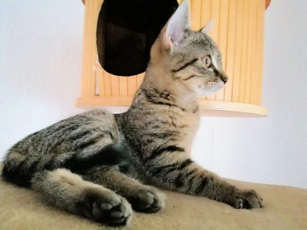 kleine getigerte Katze liegt auf der Liegefläche eines Kratzbaumes, Seitenansicht