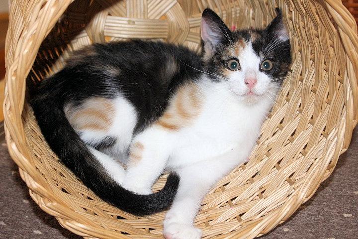 kleine dreifarbige Katze in einem Korb