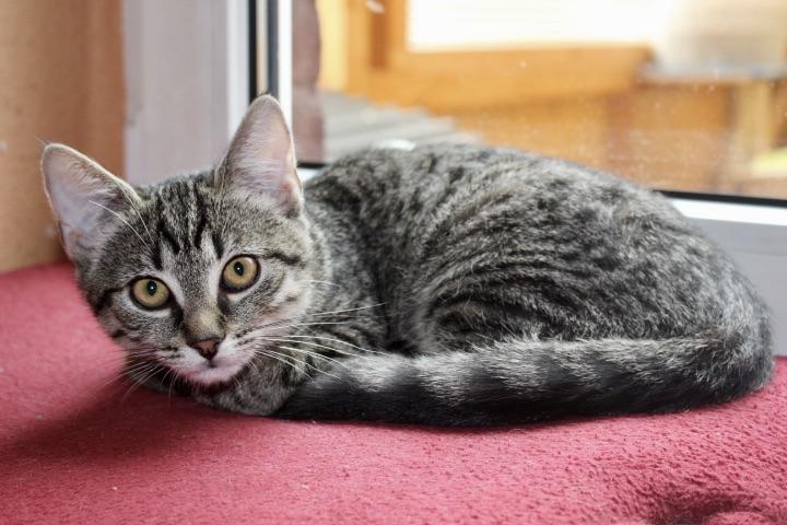 kleine getigerte Katze liegt auf einer roten Decke vor einem Fenster
