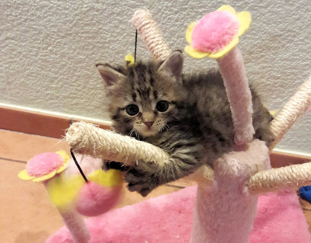 kleine getigerte Katze auf einem Kratzbaum