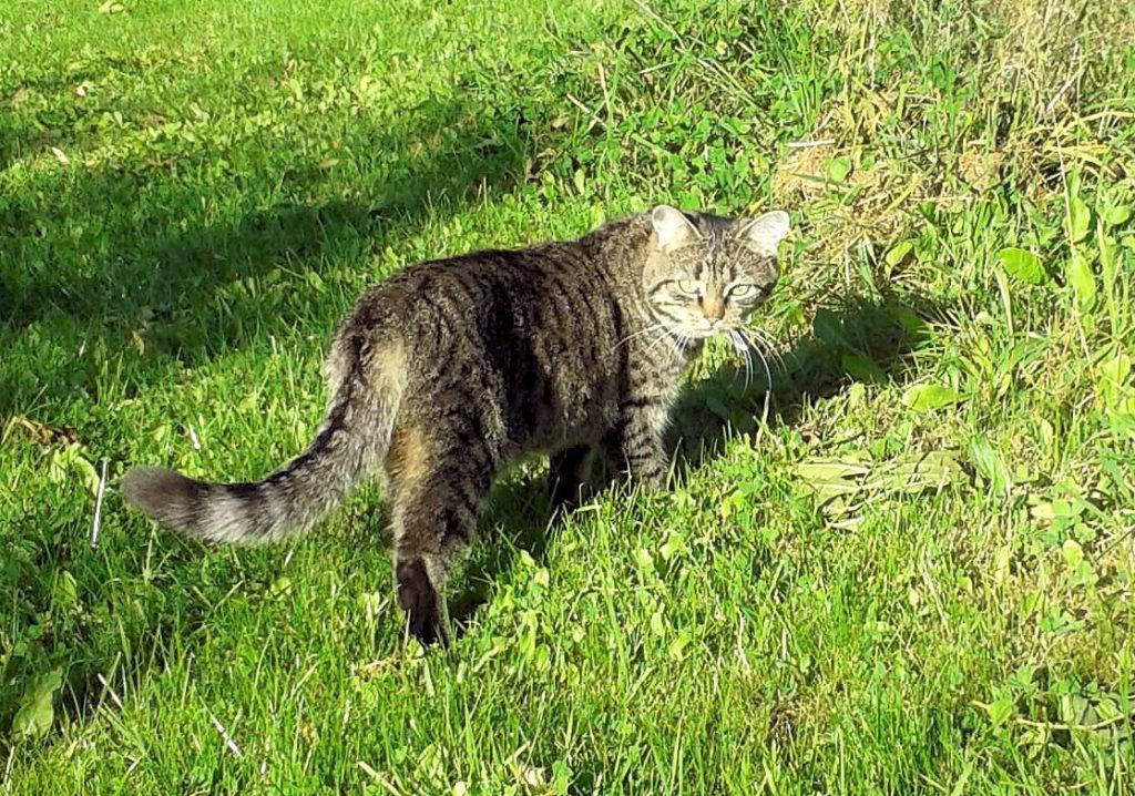 getigerte Katze iauf einem Rasenstück