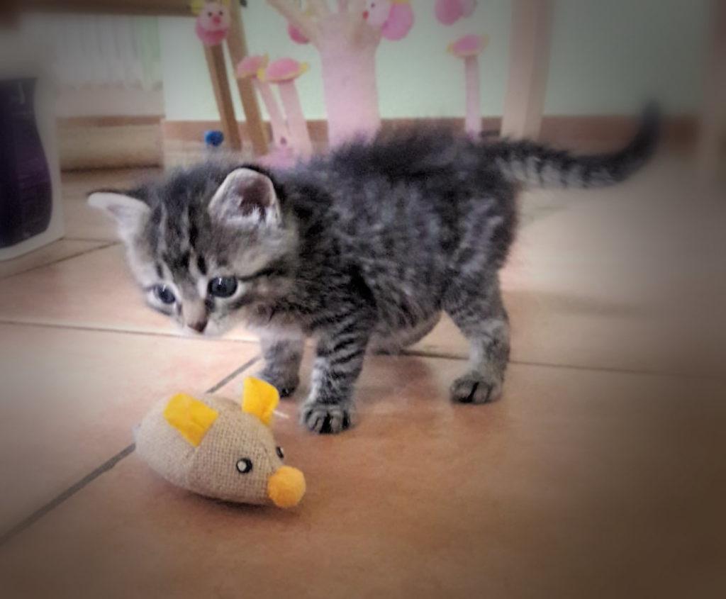 kleine getigerte Katze mit einer Spielzeugmaus