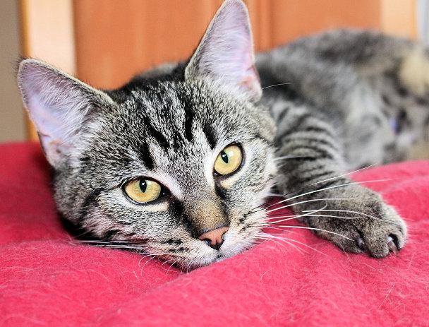 Kopfansicht einer kleinen getigerten Katze, auf einer roten Decke