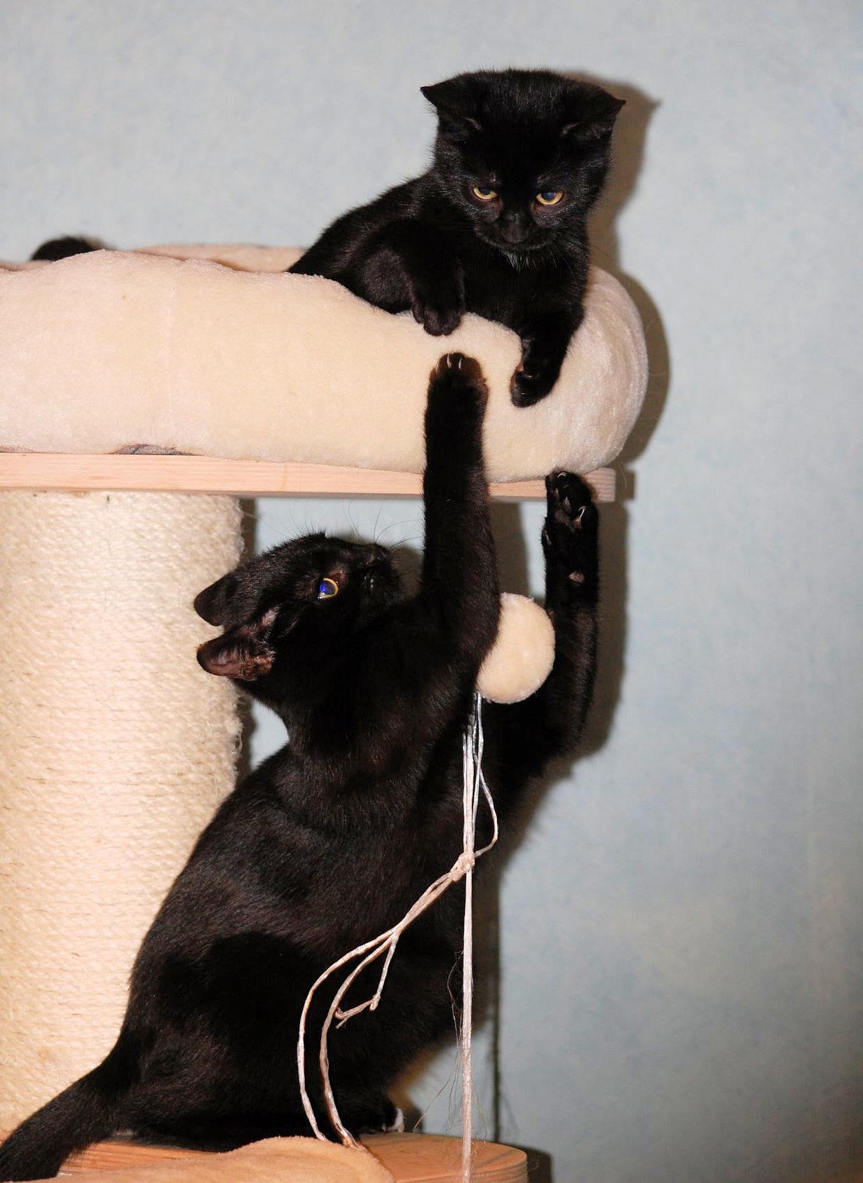 zwei kleine schwarze Katzen auf einem Kratzbaum