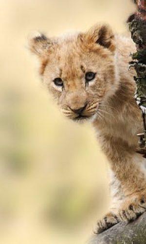 lion-animal-nature-predator-40835.jpeg