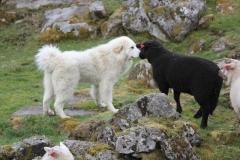Sau og hund