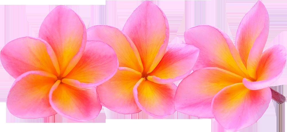 pink-frangipani-flower-isolated-white-background-less-trans-min-min
