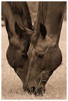 Paardenhoofden - Dierfotografie - door: Ellen Reus - Wolves fotografie