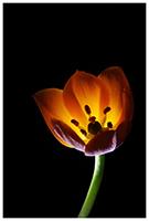 Vogelmelk - Bloemenfotografie - macrofotografie - Door: Ellen Reus - Wolves fotografie