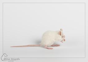 Ritten - jonge tamme rat - Rattenfotografie - Dierenfotografie - Door: Ellen Reus - www.wolves-fotografie.nl