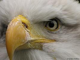 Amerikaanse Zeearend gefotografeerd door Sandra Makkus tijdens de workshop roofvogelfotografie van KOM FOTOGRAFEREN (Wolves fotografie).