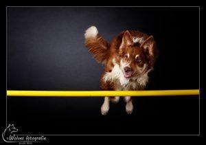 Buxx- Border Collie - Hondenfotografie - Dierfotografie - Actiefotografie - Door: Ellen Reus - Wolves fotografie
