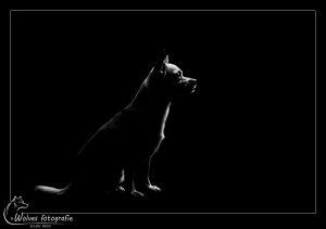 Yuna - Low key fotografie - Hondenfotografie - Dierfotografie - Door: Ellen Reus - Wolves fotografie