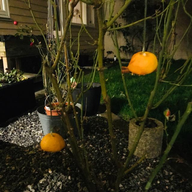 Appelsiner til fuglene