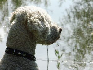 italienischer Wasserhund Charakter