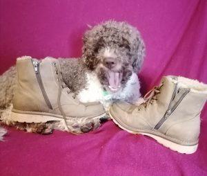 Lagotto Romagnolo sammelt Schuhe