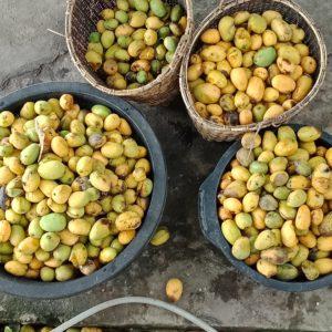 Mango Products