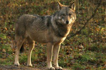 De Wolf in Gelderland
