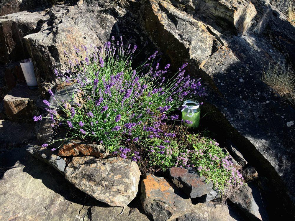 humla suser-lavendel