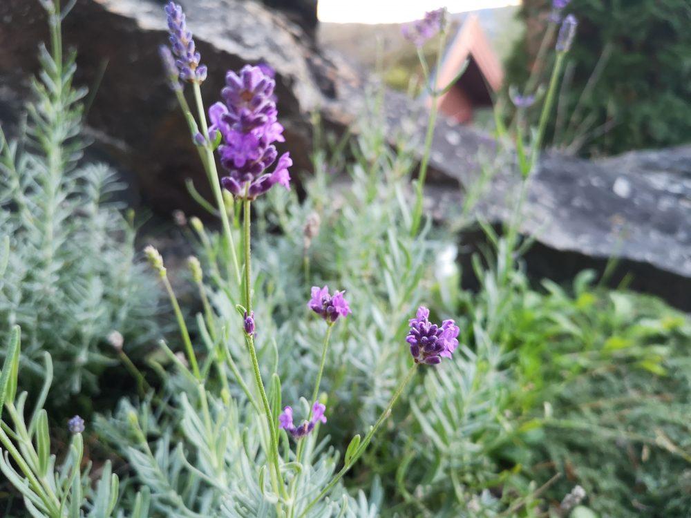 2018-09-23 19.17.31-lavendel-klippe ned en lavendel