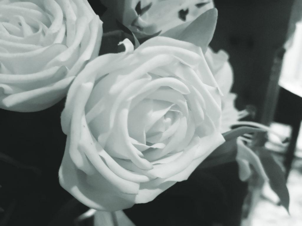 blomst, rose