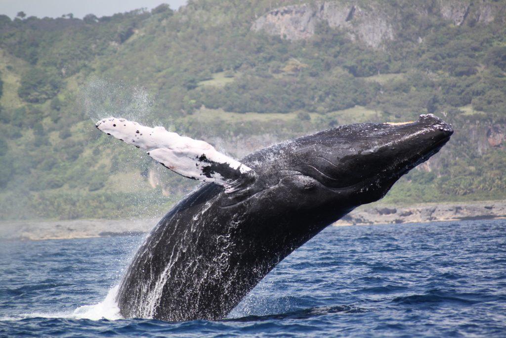 LatinA Tours DomRep Walbeobachtung Jumping whale - Whale watching, Samana, Peninsula, Ocean,