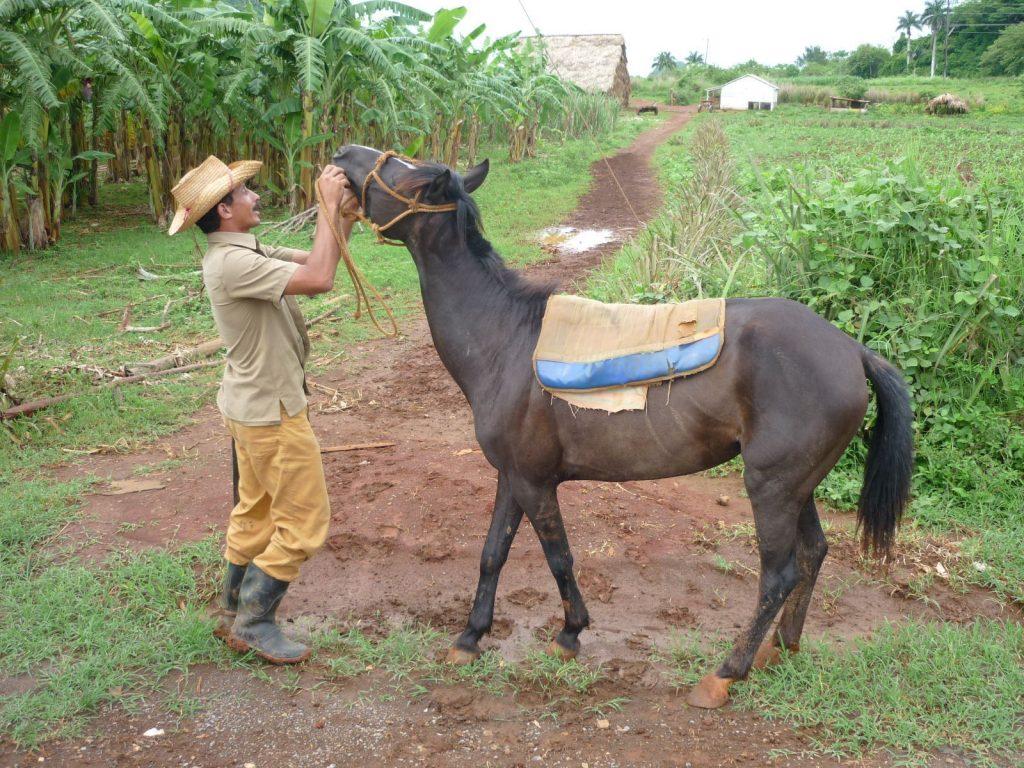 LatinA Tours Kuba Pinar del Rio - Viñales, Tobacco, Growing, Farming, Horse, Farmer