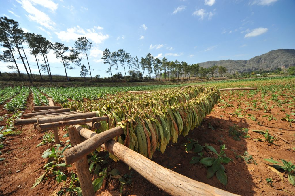LatinA Tours Cuba Viñales - Tobacco, Farming, Growing, Field