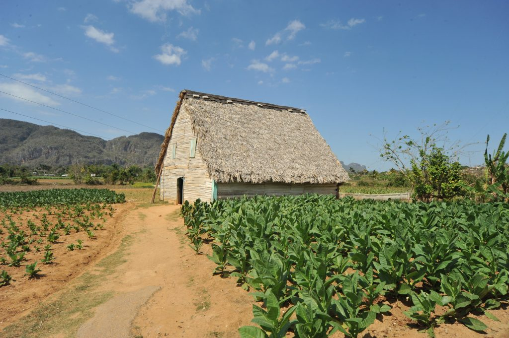 LatinA Tours Kuba Viñales - Tobacco, Farming, Growing, Field, Hut,