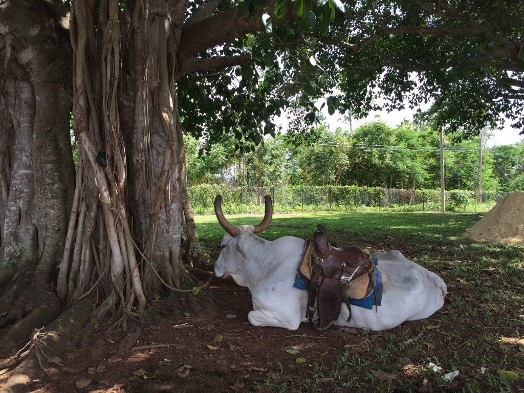 LatinA Tours Kuba Viñales Valley - Landscapes, Cow, Forest, Animals, Nature, Plant