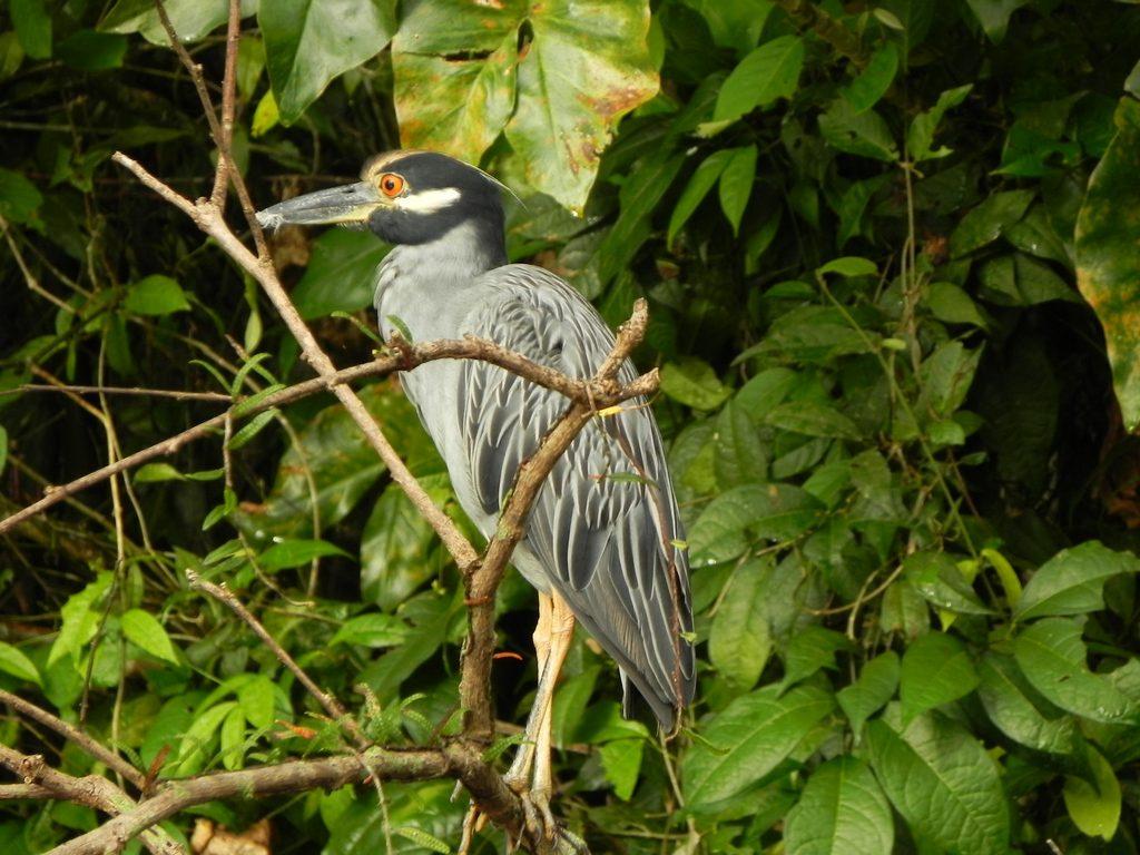 LatinA Tours Costa Rica Wasservogel grau