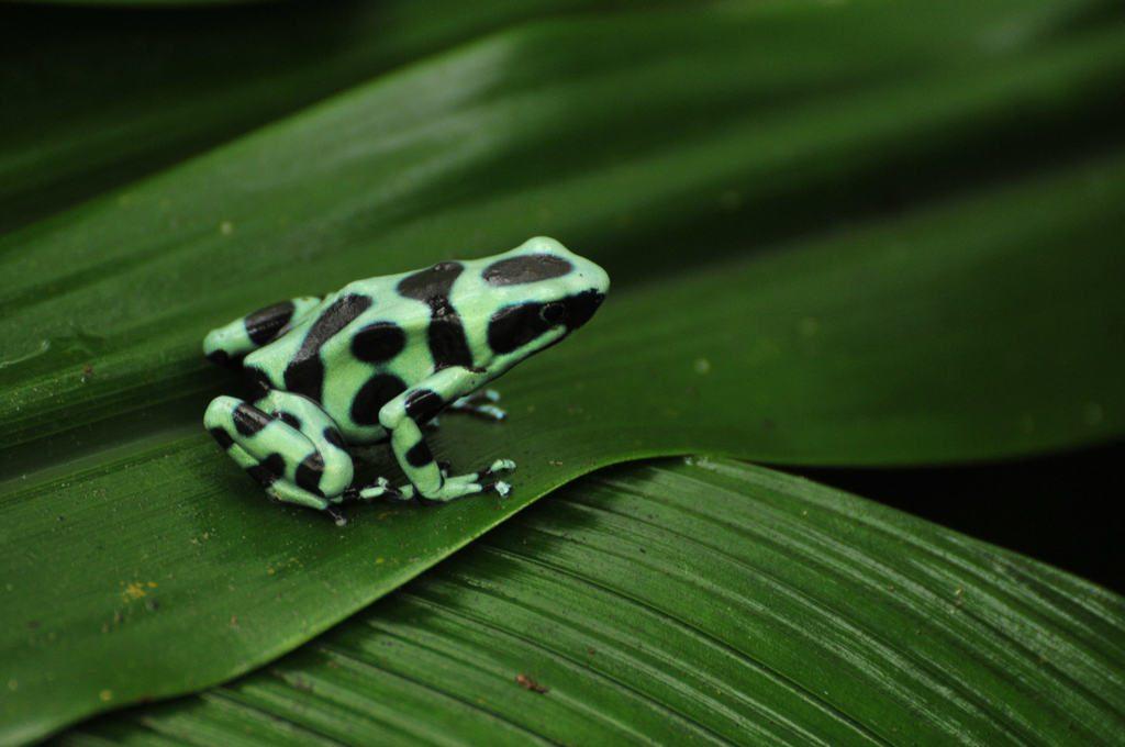 LatinA Tours Costa Rica Pfeilgiftfrosch grün