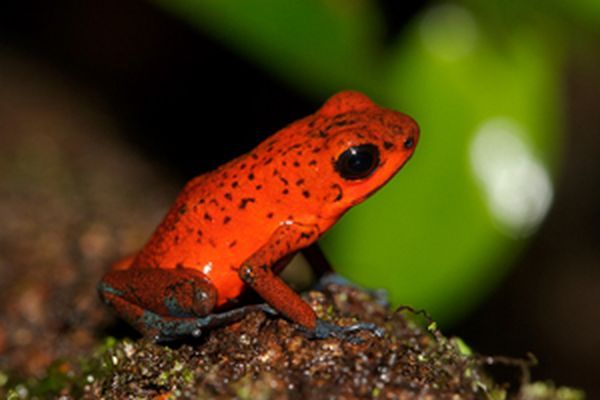LatinA Tours Costa Rica Bluejeans Frog