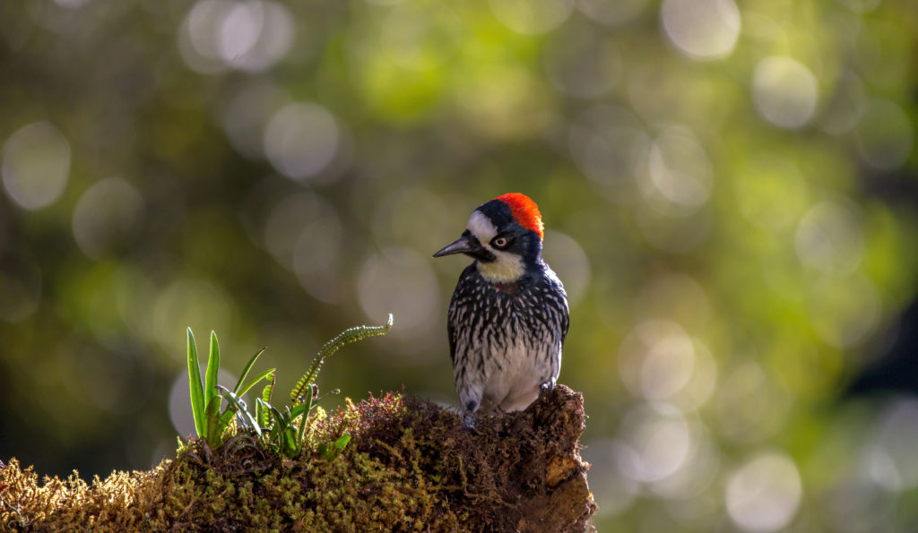 LatinA Tours Costa Rica Acorn Woodpecker