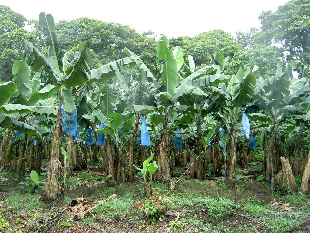 LatinA Tours Costa Rica Banana Plantation