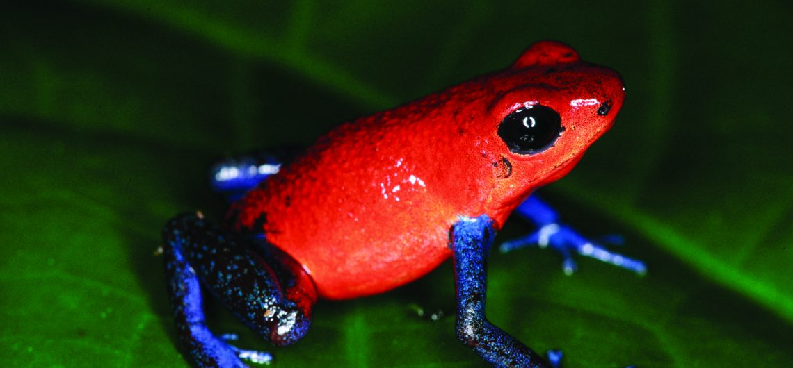 LatinA Tours Costa Rica Blue Jeans Frog