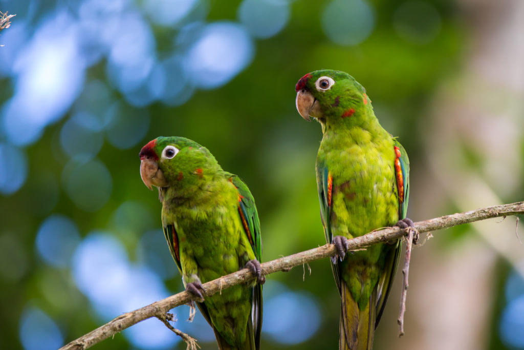 LatinA Tours Costa Rica Crimson-fronted Parakeet