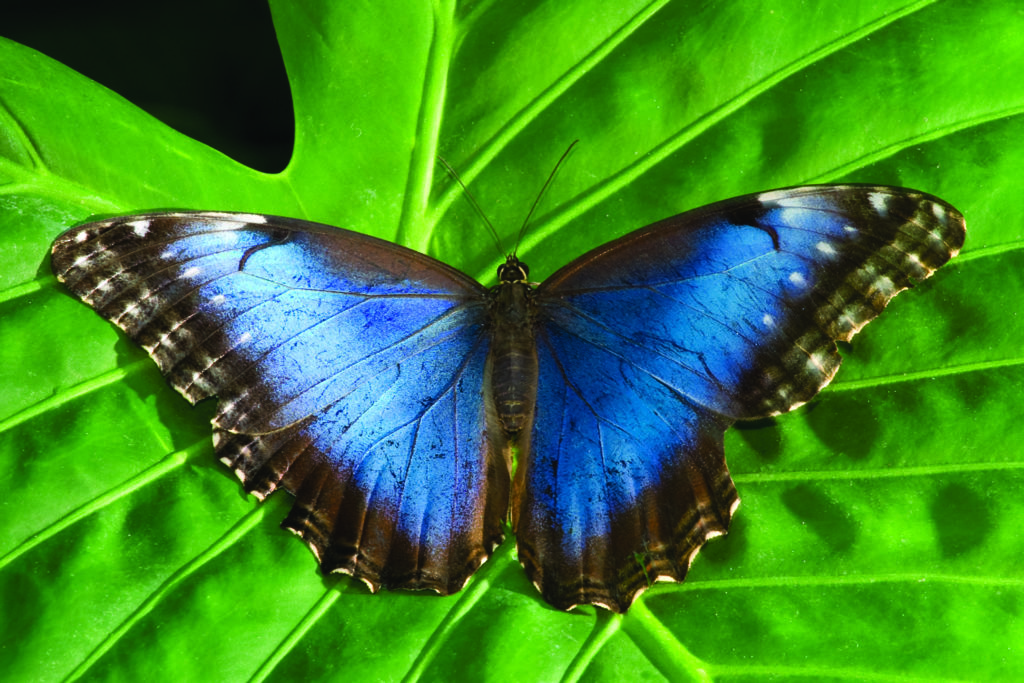 LatinA Tours Costa Rica Morpho Schmetterling
